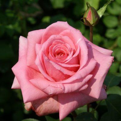 Rahle's Rose