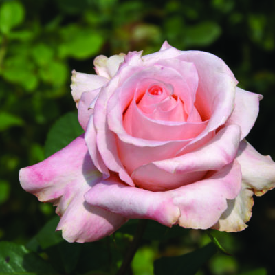 The Rhenish Rose