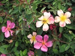 Rosa chinensis mutabilis
