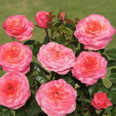 Madam's Rose