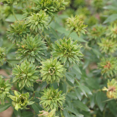 ROSA Chinensis viridiflora
