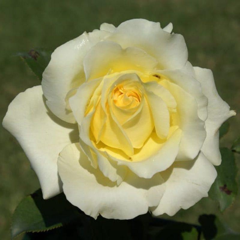 Elina bloom